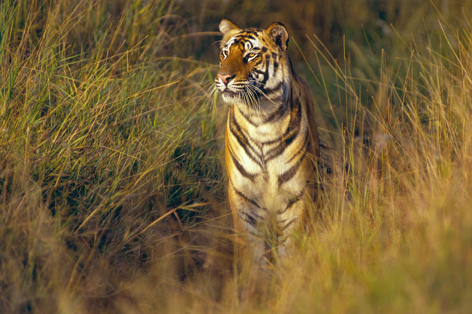 Picture of a tiger in Bandhavgarh National Park, India