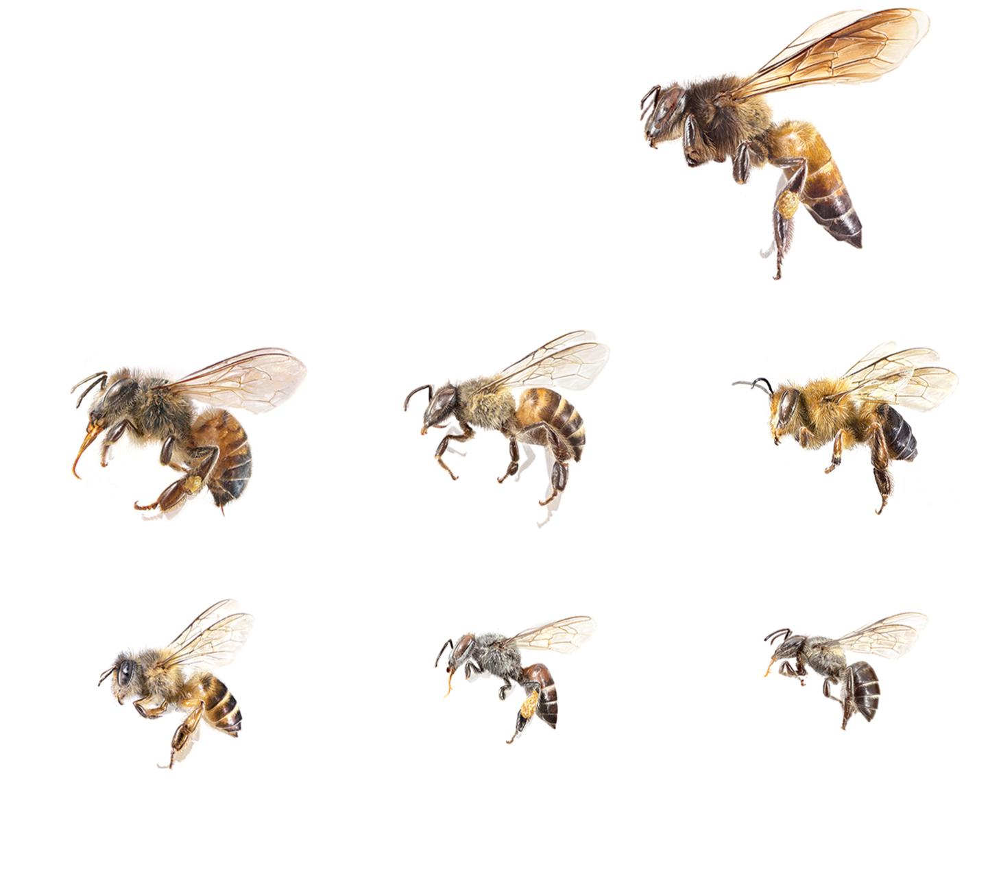 Apis Dorsata Giant Honey Bee