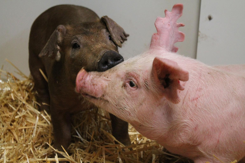 Museum Pig Exhibit Keeps Children Informed Feeds Those In