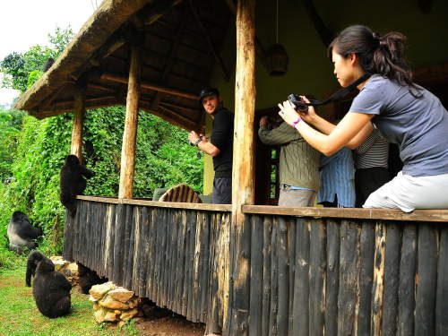 TOP 10 TOURIST ATTRACTIONS IN WESTERN UGANDA: Mountain gorillas in the camp.