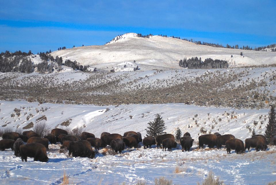 Scientists Disagree On Bison Impacts To Yellowstone's Northern Range