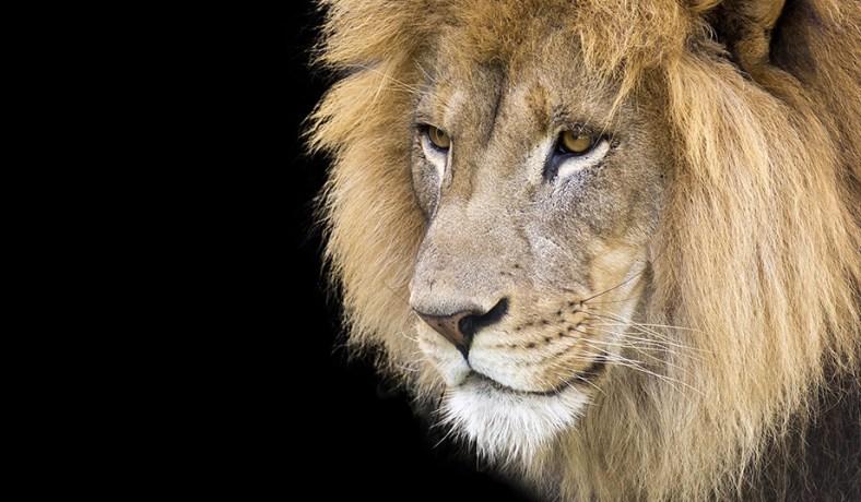 C Lion Review Endangered Spec...