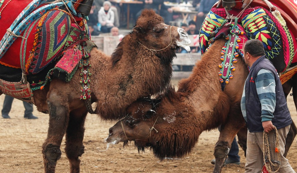 Camel Wrestling in Turkey | National Review