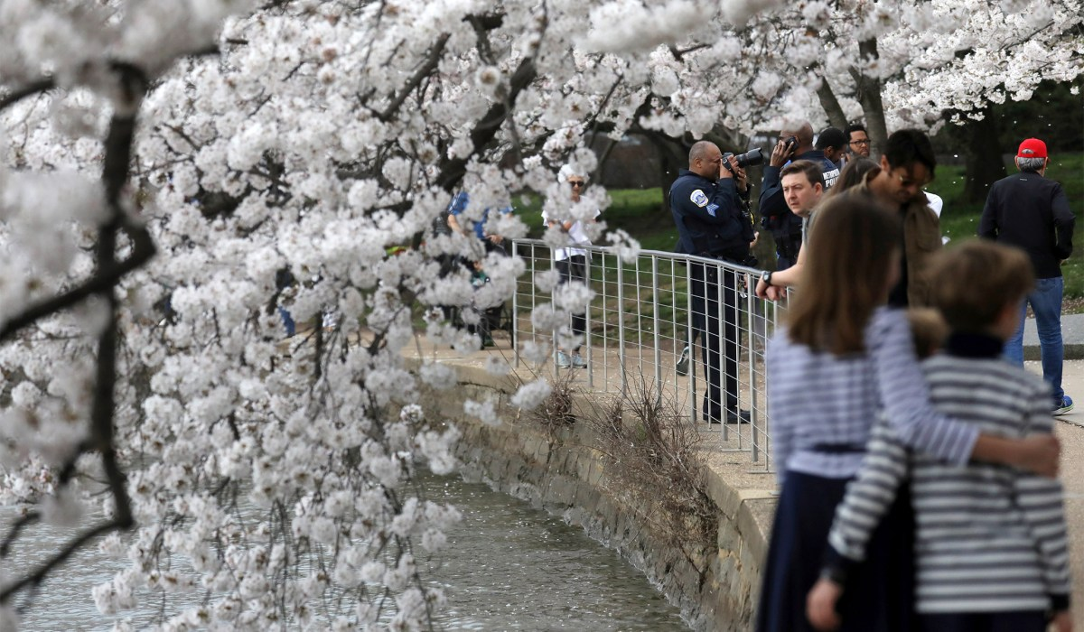 In Praise of Cherry Blossoms | National Review