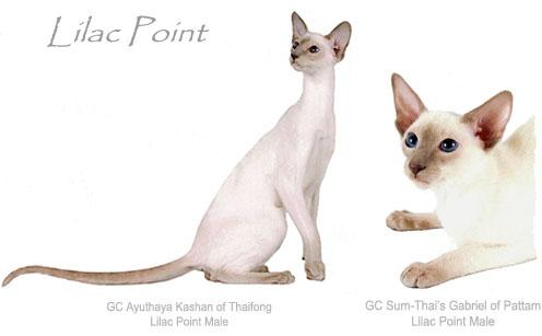 https://i1.wp.com/www.nationalsiamese.com/cats/Colors-Lilac.jpg