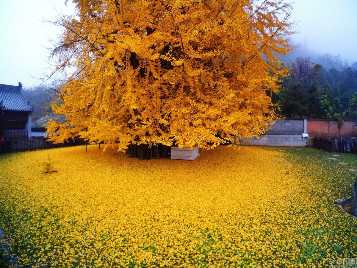 Mesmerising: An Ancient Chinese Ginkgo Tree Droped an Ocean of Golden Leaves