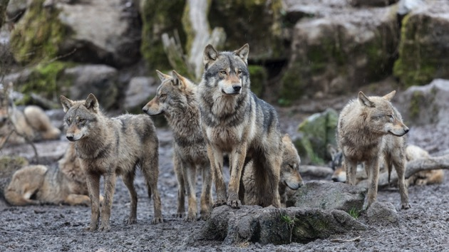 Groups ask court to restore protections for United States gray wolves