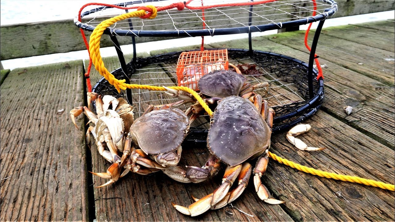 Dungeness crabs' shells are dissolving from the severity of Pacific Ocean acidification