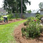 Planting Crype Myrtles Pine Straw Installation