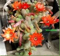 echinopsis-chamaecereus-sin-chamaec3