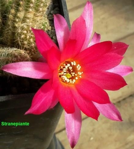 echinopsis-chamaecereus-x-lobivia-fi2