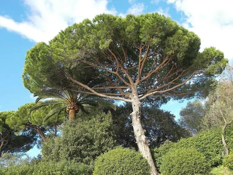L'adattamento del pino mediterraneo agli incendi