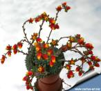 Echeveria_setosa_deminuta_blooms_360