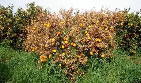La tristezza degli agrumi colpisce pesantemente la Sicilia
