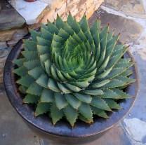 piante-geometriche-in-natura-29
