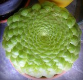 piante-geometriche-in-natura-30
