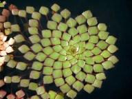 piante-geometriche-in-natura-32