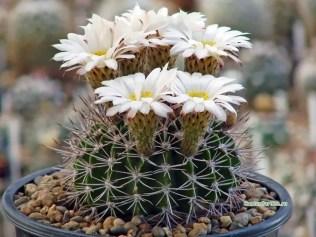 acanthocalycium-klimpelianum