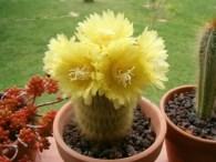 notocactus-leninghausii-Yellow