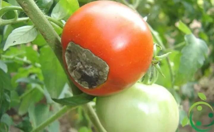 Le situazioni critiche nella coltivazione del pomodoro.