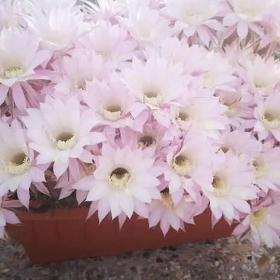 Echinopsis Oxygona. Foto di Costanza Fania