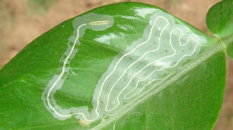 Minatrice serpentina degli agrumi