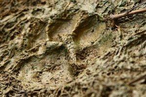 Empreinte Puma