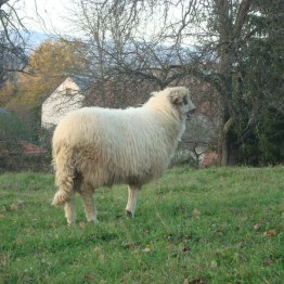 A sheep enjoys an apple