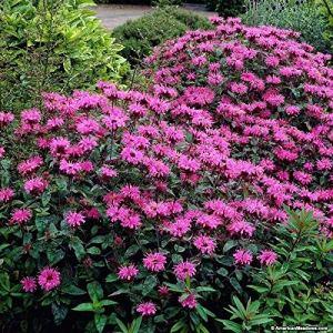 Graines bio: Abeille Bm Grand-l Monarda didymaPerenni Nectar erfliesDORMAN par Farmerly