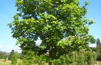 Il frassino, non è un albero sempreverde