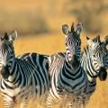regno degli animali, zebre
