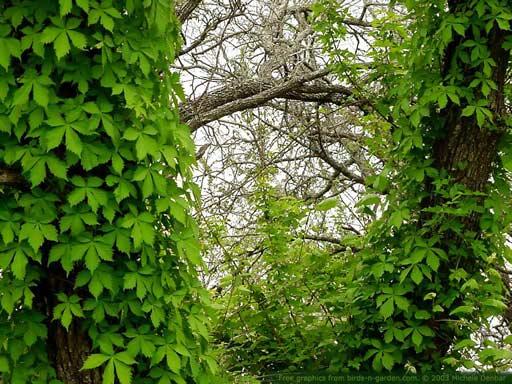 Piante rampicanti cosa sono dove crescono for Piante da frutto rampicanti