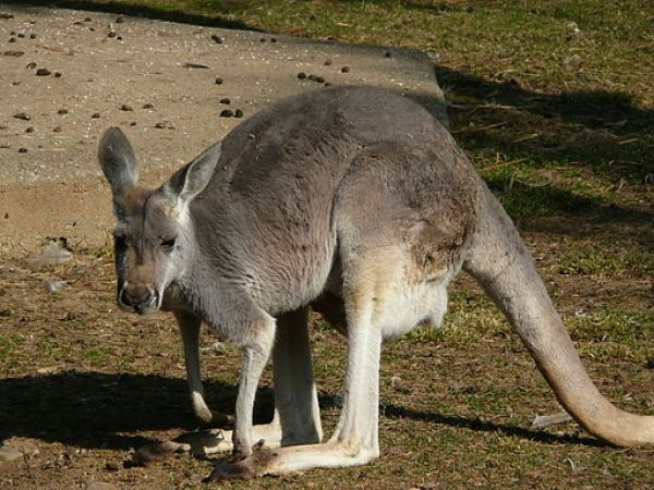 canguro grigio