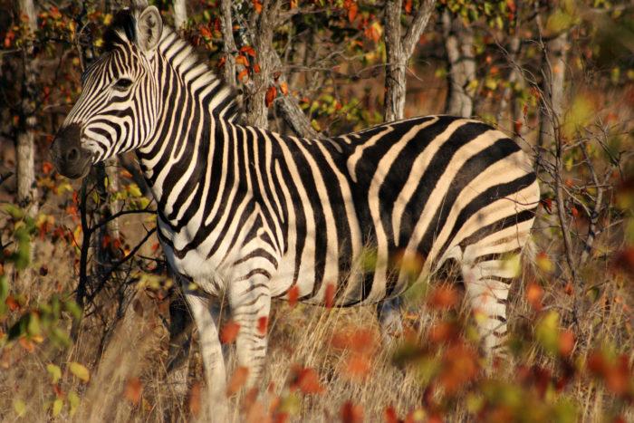 zebra cos'è un giardino zoologico