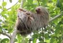 Bradipo, il mammifero più lento al mondo
