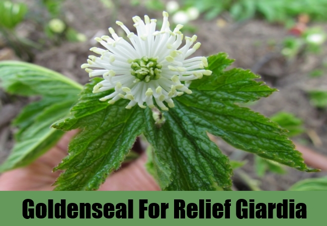 Goldenseal For Relief Giardia