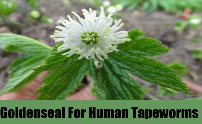 Goldenseal For Human Tapeworms