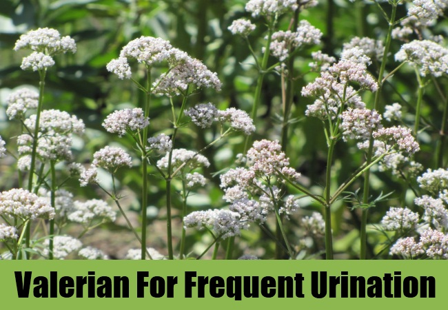 Valerian For Frequent Urination