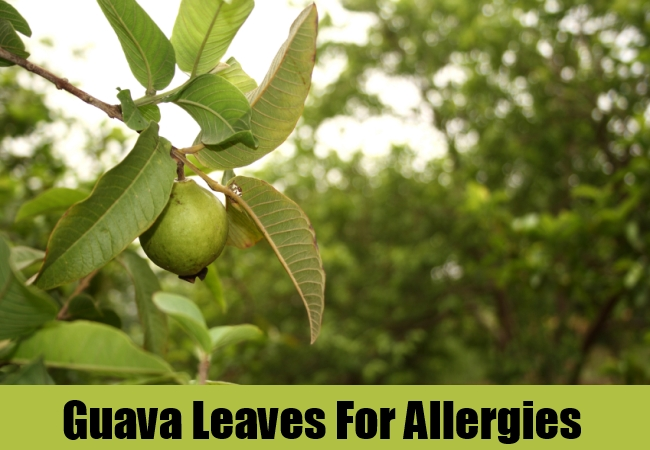 Guava Leaves For Allergies