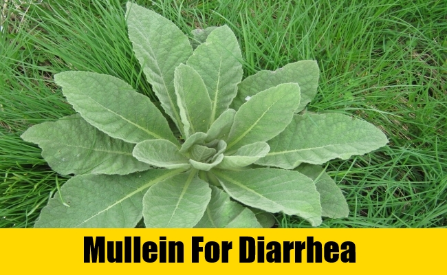 Mullein For Diarrhea