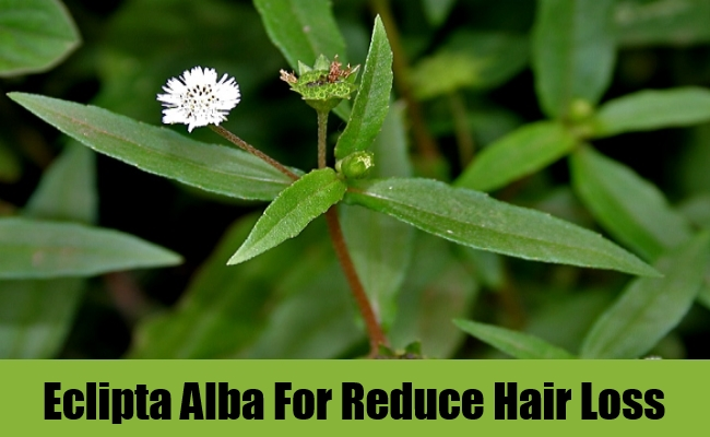 Eclipta Alba For Reduce Hair Loss