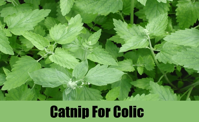 Catnip For Colic