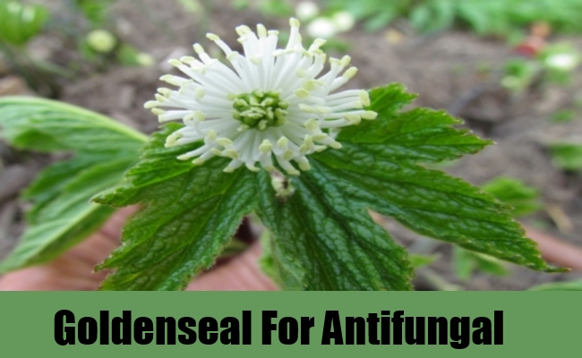 Goldenseal For Antifungal
