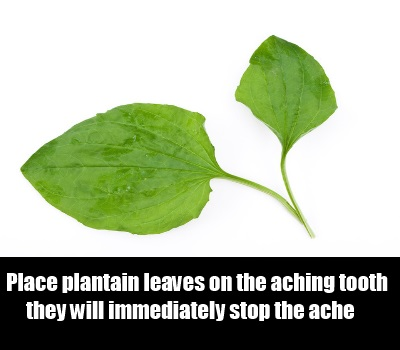 Plantain Leaves