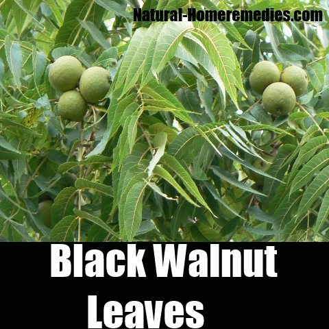 Black Walnut Leaves