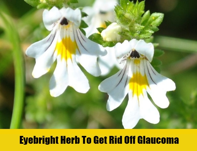 Eyebright-Herb-To-Cure-Glaucoma