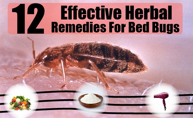 12 Effective Herbal Remedies For Bed Bugs Natural Home