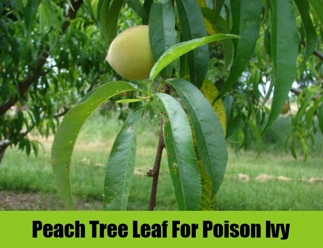 Peach Tree Leaf