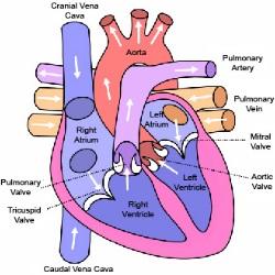 Important Circulatory System Diseases