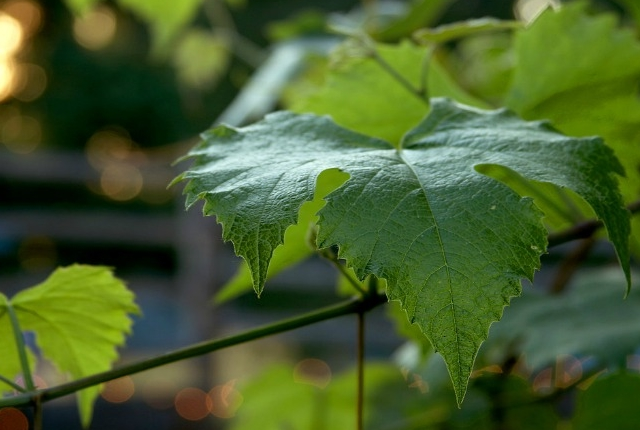 Grapevines Leaves